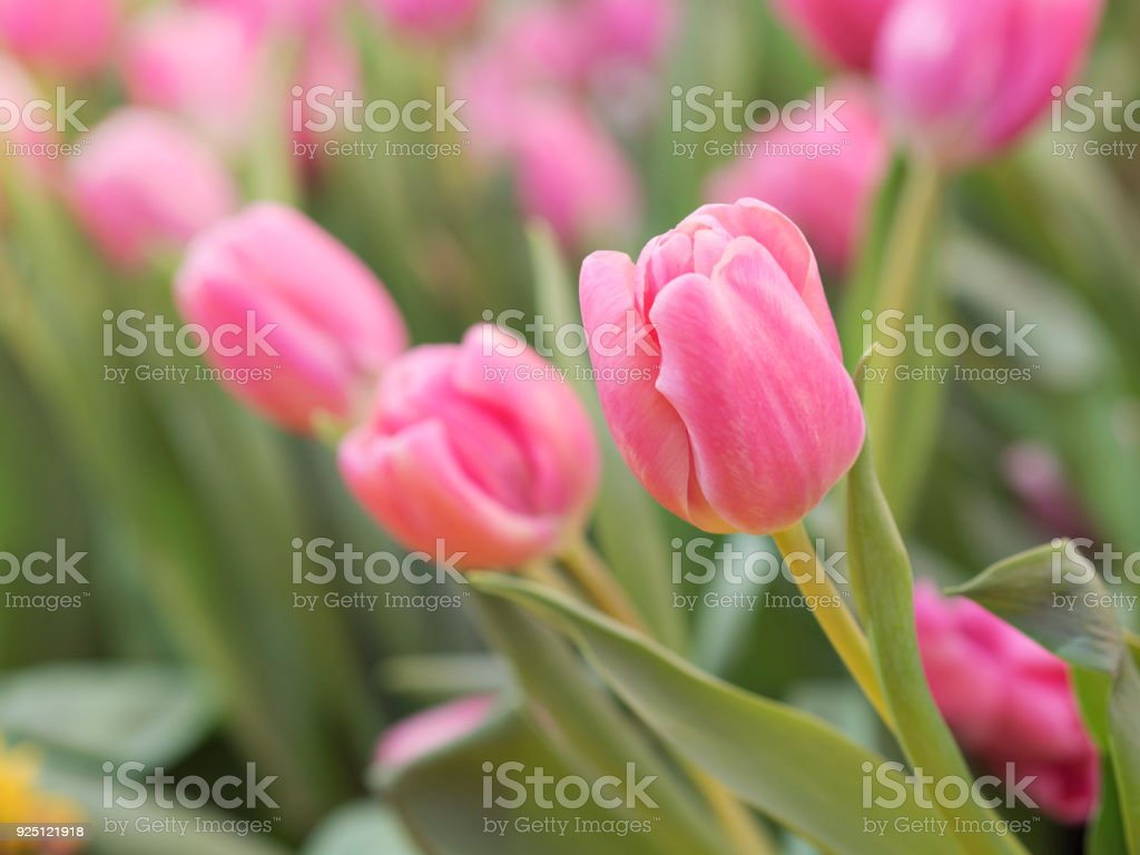 Sweet, lovely and beautiful pink color tulips in tulips fields with natural light in morning spring time stock photo