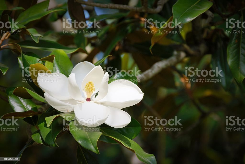 Sweet Magnolia stock photo