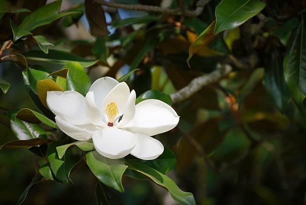 магнолия крупноцветковая - magnolia стоковые фото и изображения