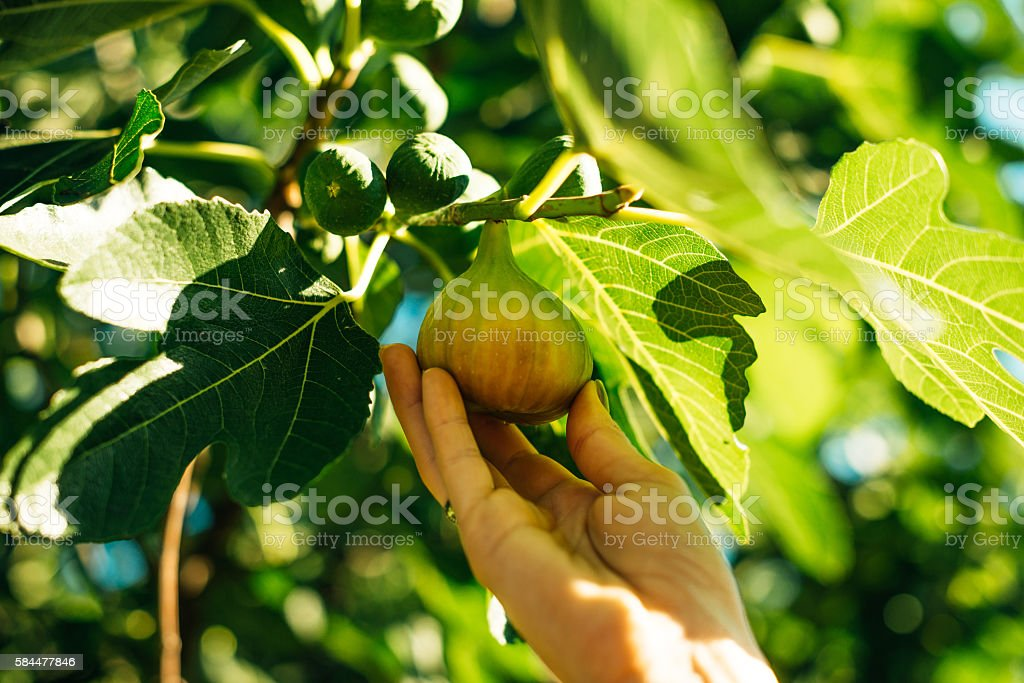 Sweet mature fig on tree in summer stock photo