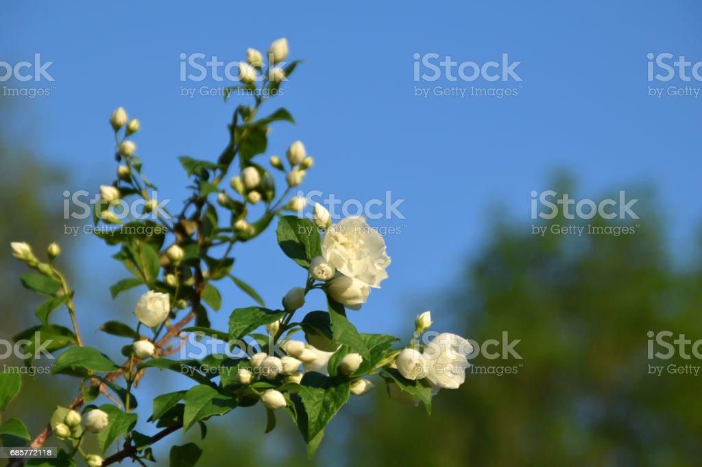Sweet mock-orange bush blooming. royalty-free stock photo