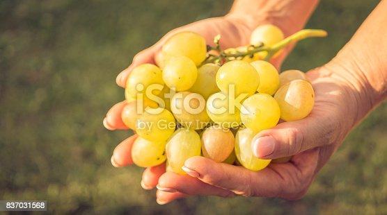 924487256 istock photo Sweet Muscat Grapes. Autumn harvesting 837031568