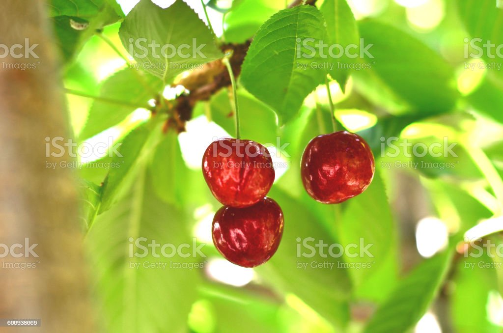 Sweet organic Cherries in the evening light stock photo