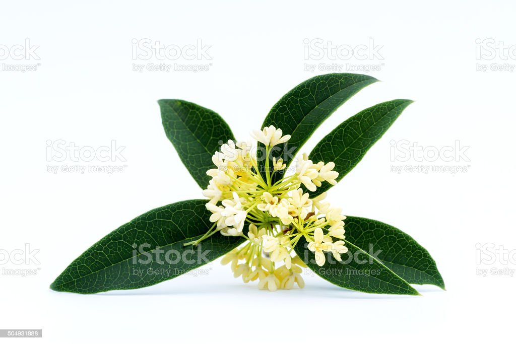 Image result for osmanthus picture free download