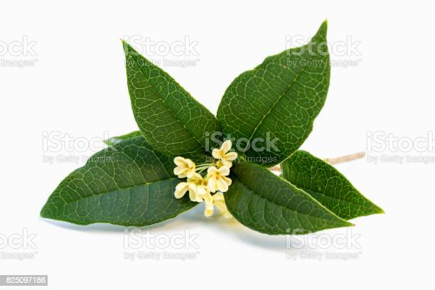 Sweet osmanthus flowers picture id825097186?b=1&k=6&m=825097186&s=612x612&h=i2nwxei2cdwj2m0gbnltvea8gqumnenw nv048anpre=