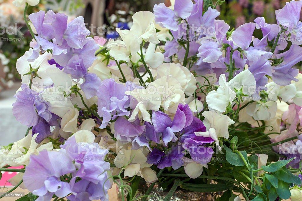 Sweet pea Blumen – Foto