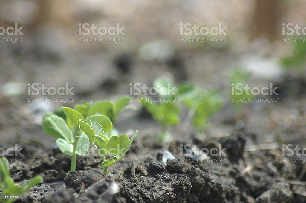 Sweet Pea Seedlings stock photo
