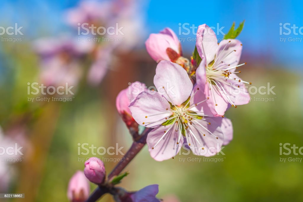 Sweet Peach Blossoms In Early Spring Bees Food Royalty Free Stock Photo