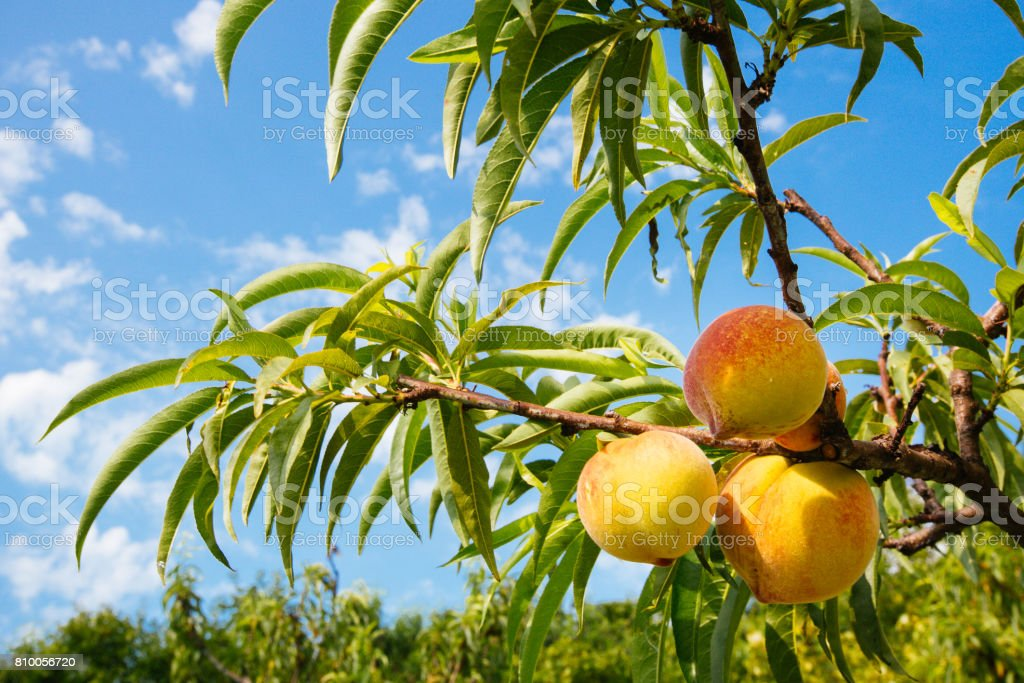 Sweet peach fruits growing on a peach tree branch stock photo