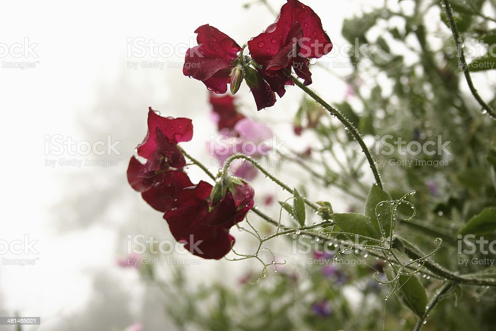 Sweet Peas with Dewdrops and Mist stock photo