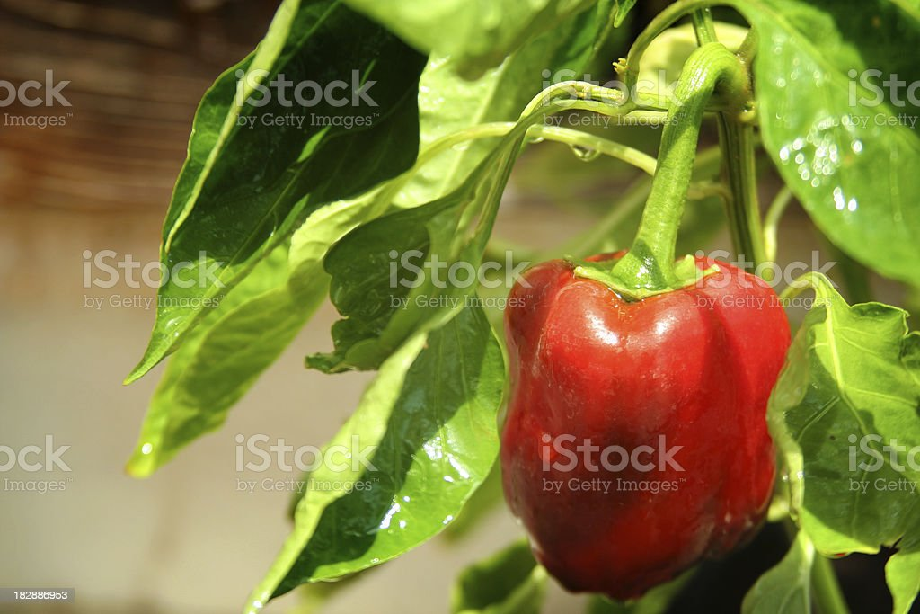 sweet pepper grow royalty-free stock photo