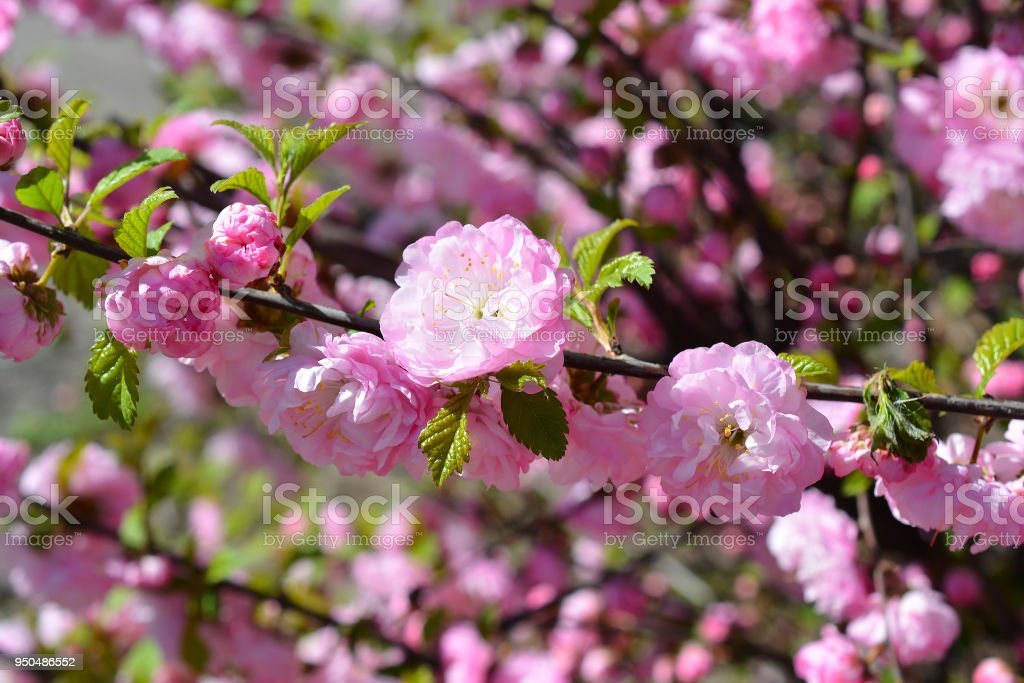 Sweet pink flowers blooming Louiseania triloba, Prunus triloba, Amygdalus triloba in the spring garden. Blossoming tree. stock photo
