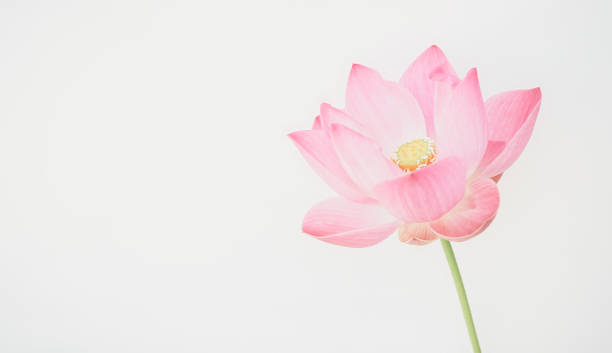 sweet pink lotus in soft and blur style for background – Foto
