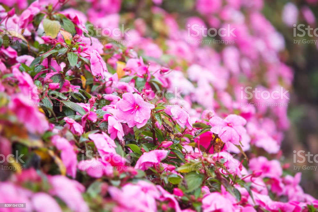 Sweet pink petunia flower bed for background stock photo