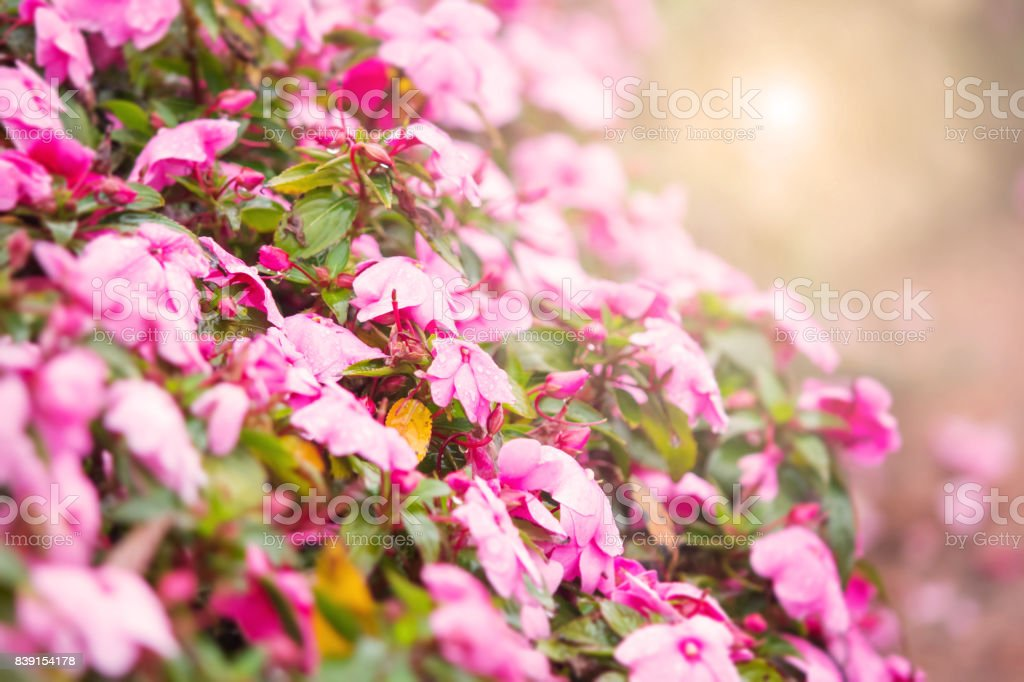 Sweet pink petunia flower bed for background with warm light filter stock photo