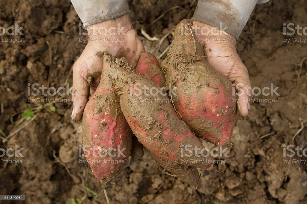 Sweet potato and farmer hand stock photo