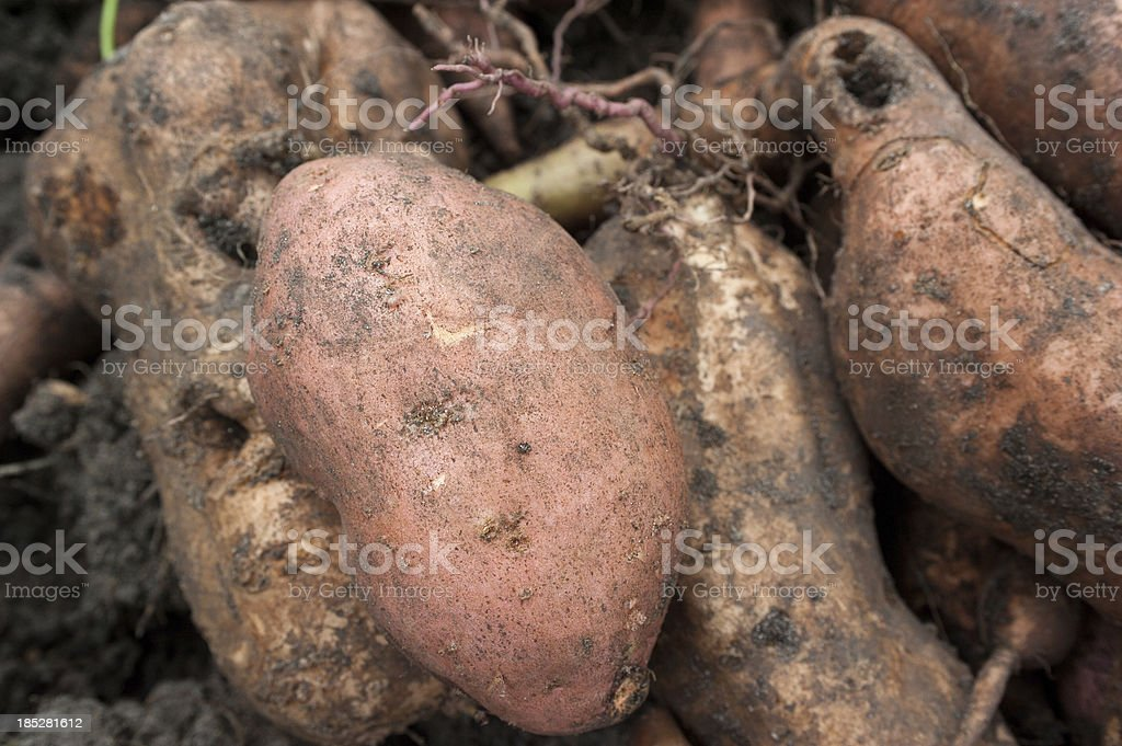 Sweet Potato Close Up royalty-free stock photo