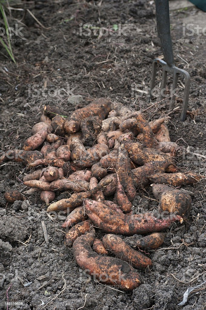 Sweet Potato Harvest royalty-free stock photo