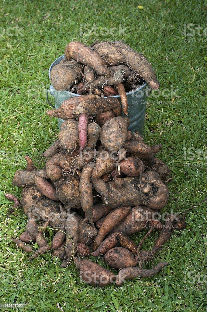 Sweet Potato Harvest stock photo