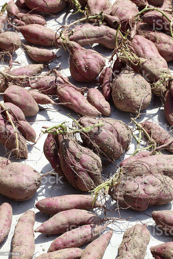 sweet potato harvesting royalty-free stock photo