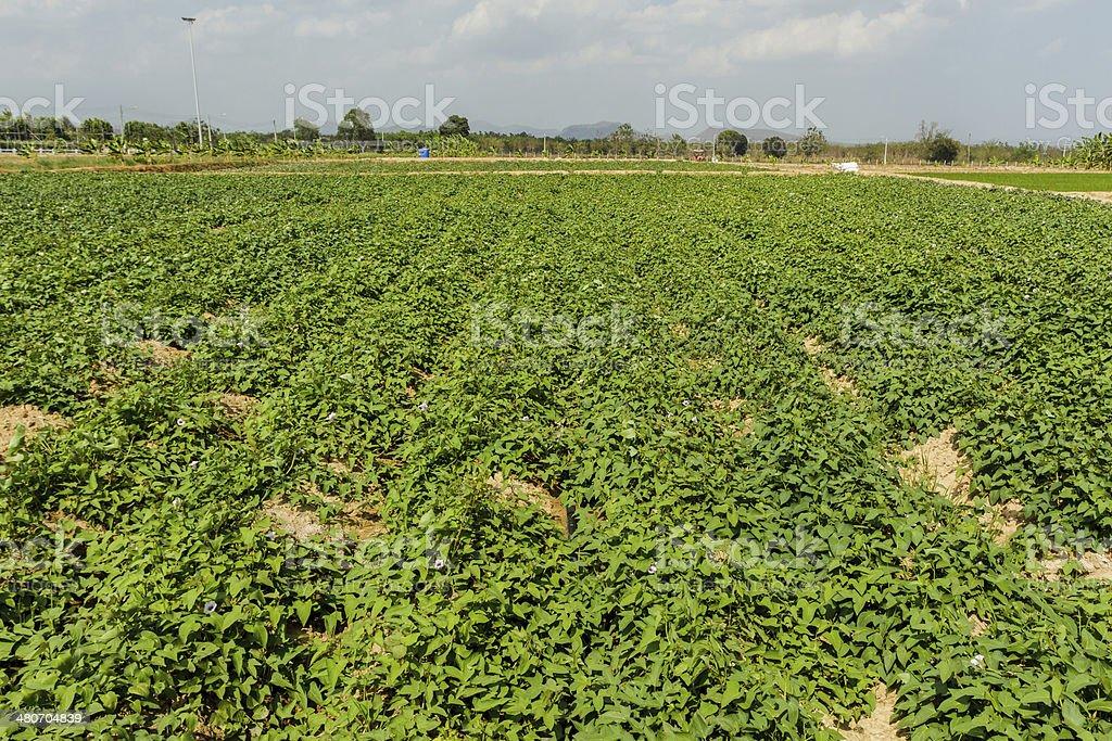 Sweet potato(Ipomoea batatas). stock photo