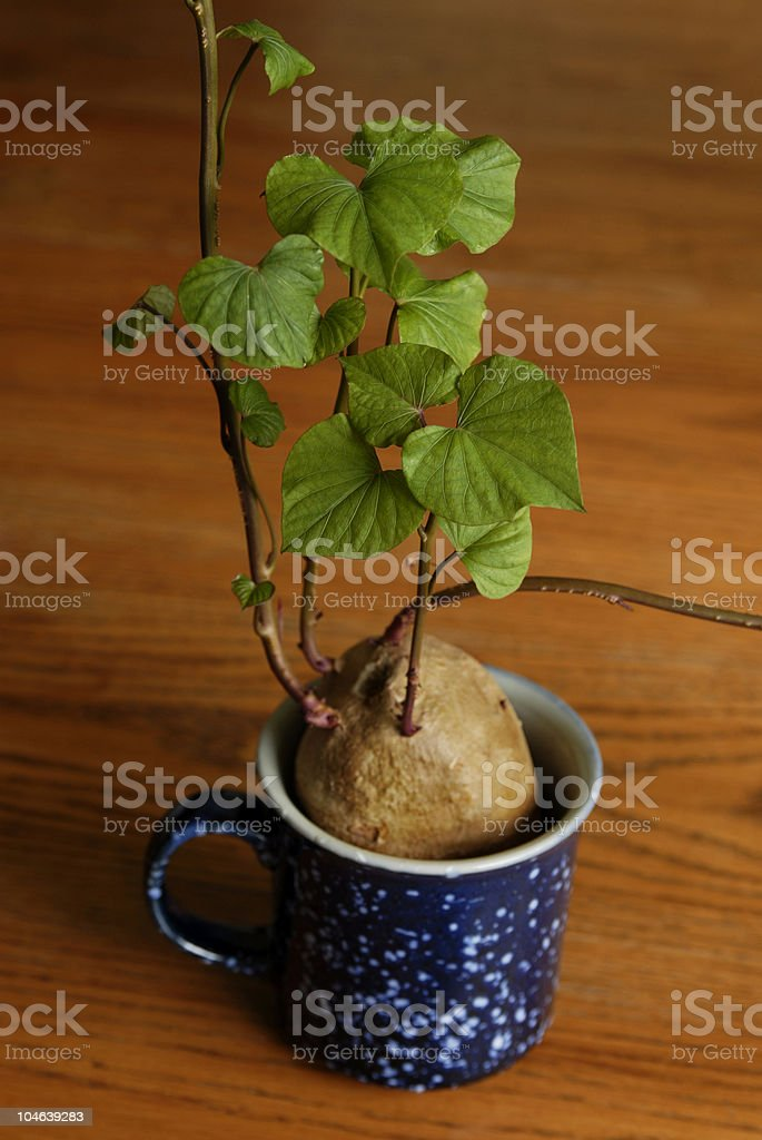 Sweet Potato plant royalty-free stock photo
