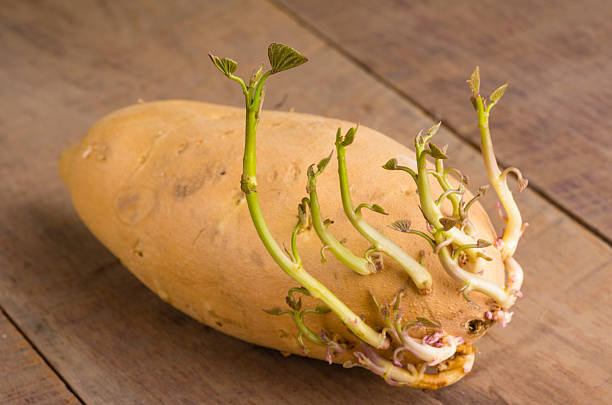 Sweet potato with new shoots growing stock photo