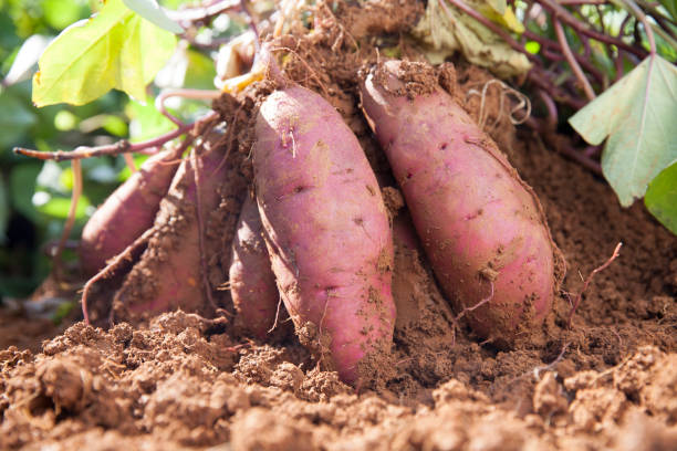 sweet potatoes sweet potatoes in farmland sweet potato stock pictures, royalty-free photos & images
