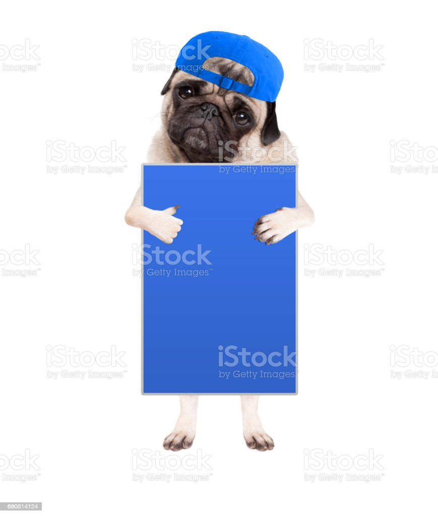 sweet pug puppy dog with cap, standing up holding blank blue sign and giving a like with thumb, isolated on white background stock photo