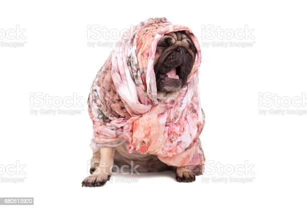 Sweet pug puppy dog with headscarf sitting down yawning isolated on picture id680513920?b=1&k=6&m=680513920&s=612x612&h= omvsdvqfnzyjkaovjfveblb9x5ydgtoygxlgkapuk0=
