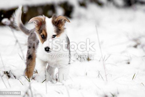 Sweet Puppy in the snow, australian shepherd mixed-breed dog, copyspace
