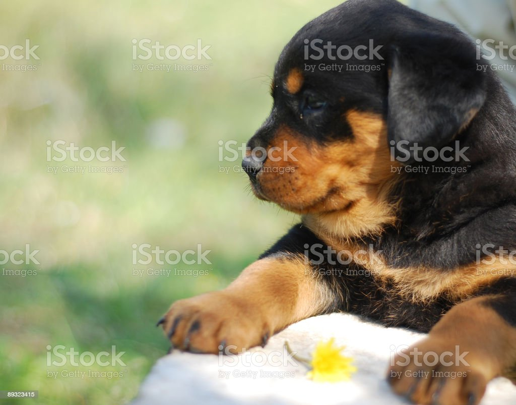 Sweet puppy royalty-free stock photo