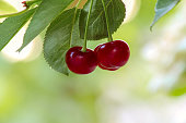 Sweet red berries, cherry on the branch of a fruit tree, abstract background. Selective focus, place for text.