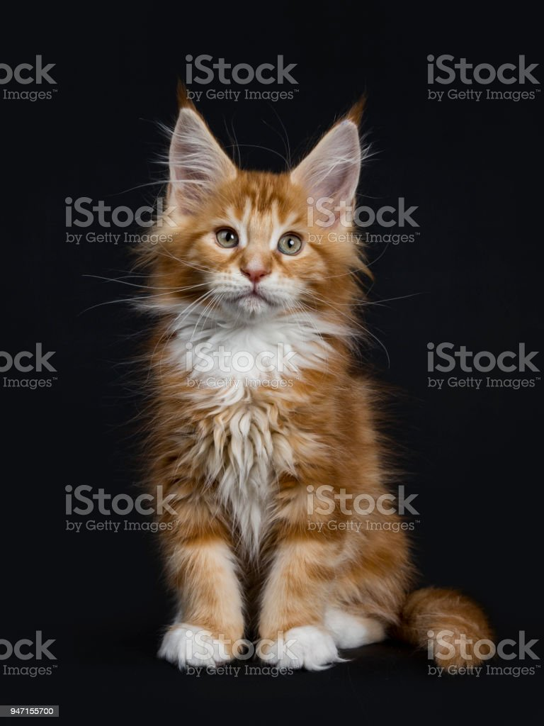 Sweet Red Tabby With White Maine Coon Cat Kitten Sitting Straight Up
