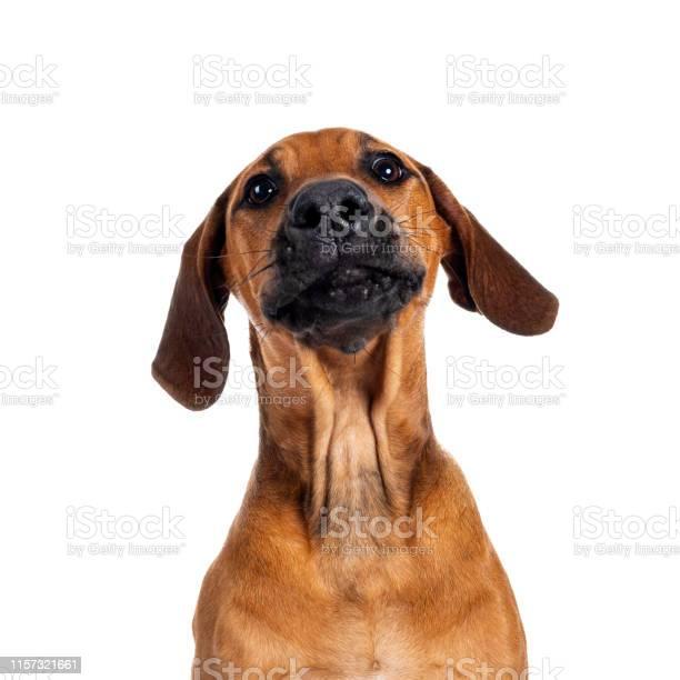 Sweet rhodesian ridgeback puppy on white picture id1157321661?b=1&k=6&m=1157321661&s=612x612&h=m9hunnb2g xvvboc4rg2q4nac7joi64ojrijzedfivo=