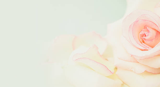 sweet roses in soft color and blur style - Photo