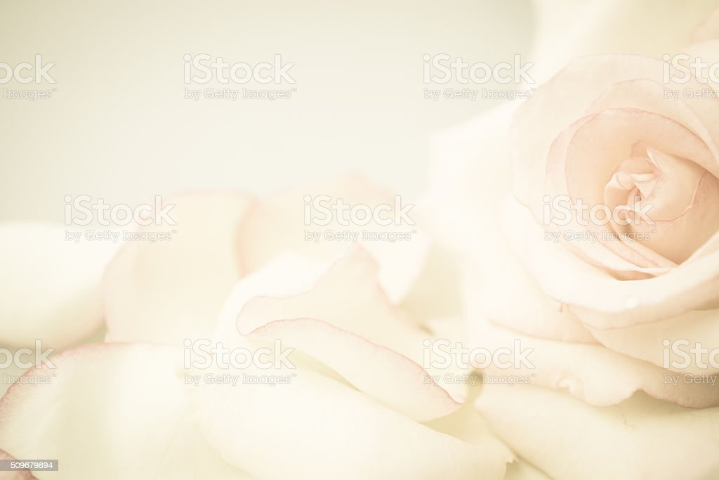 sweet roses in soft color and vintage style stock photo