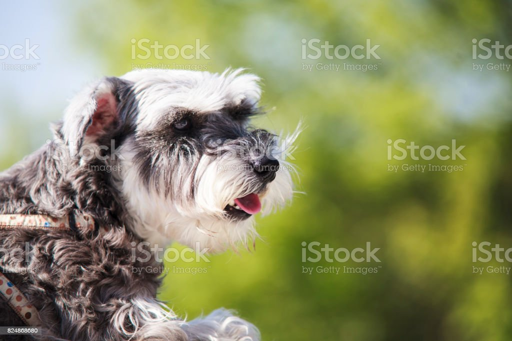 Sweet Schnauzer dog with funny ears smiles with nice background color stock photo