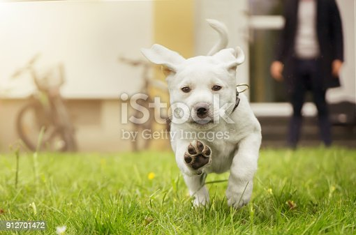 istock Sweet small labrador puppy running in meadow in motion showing dog paws 912701472