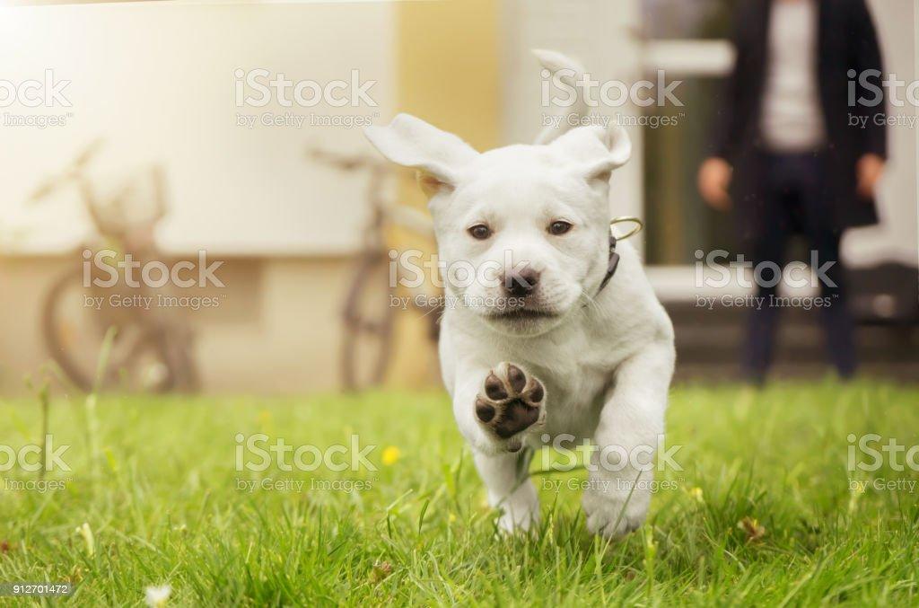Süße kleine Labrador-Welpe läuft auf Wiese in Bewegung zeigen Hundepfoten – Foto
