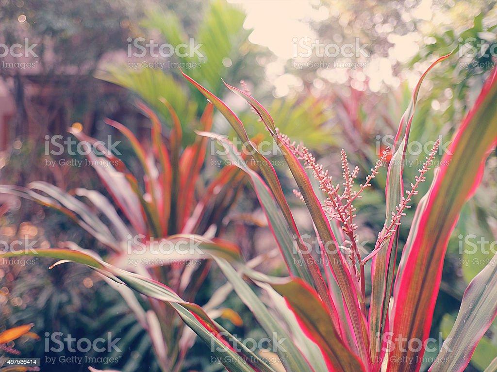 Sweet soft tone of Ti plant,Hawaiian good luck,Cordyline stock photo