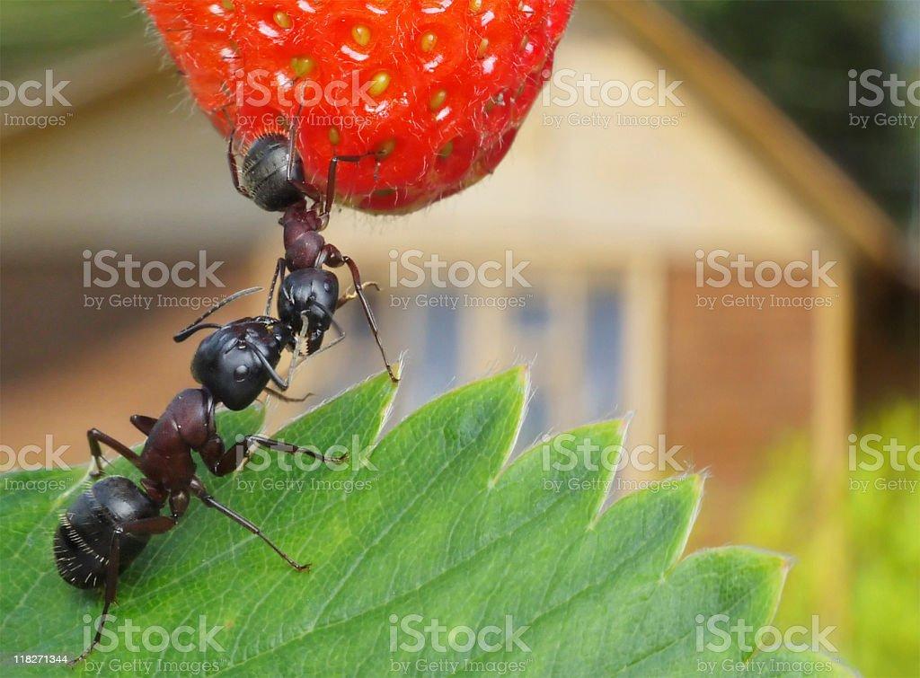 sweet summer of ants stock photo