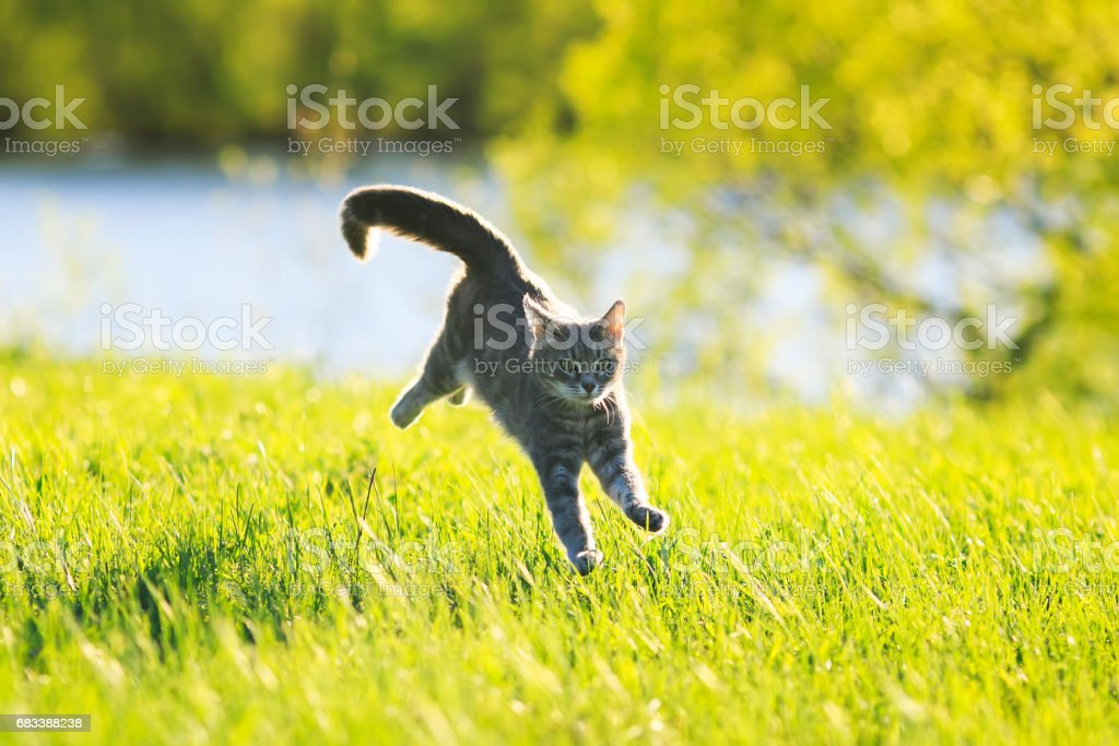 sweet tabby cat fun running on green meadow in Sunny summer day stock photo