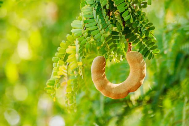 tamarin sucré sur l'arbre en g arden thaïlande. - tamarin photos et images de collection