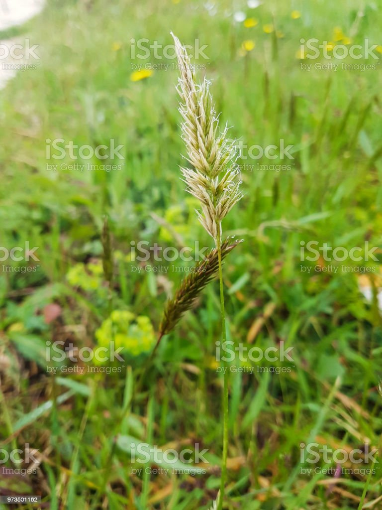 Sweet vernal, holy or vanilla grass Sweet vernal, holy or vanilla grass, Anthoxanthum odoratum, growing in Galicia, Spain Botany Stock Photo
