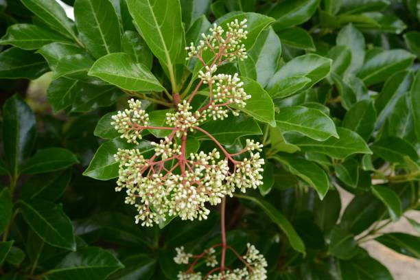 Sweet viburnum (Vibrunum odoratissimum) – zdjęcie