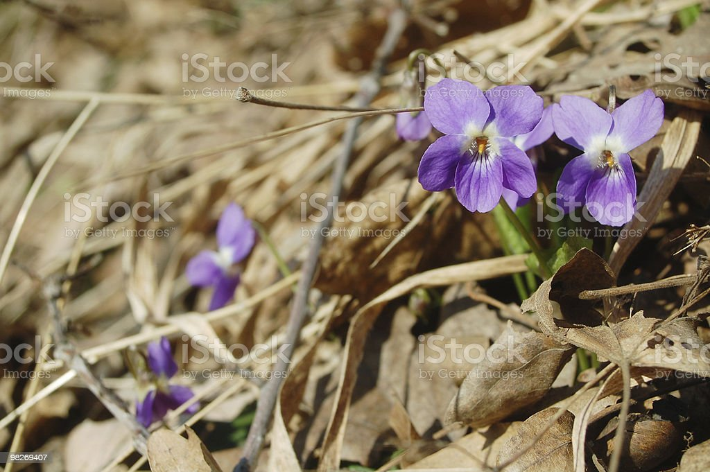 sweet violet royalty-free stock photo