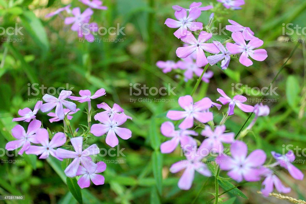 Sweet William, Phlox divaricata, purple wildflowers in midwest USA field stock photo