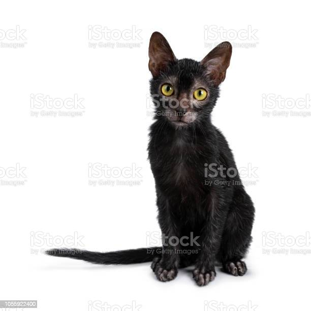 Sweet young adult lykoi cat kitten sitting front view looking at picture id1055922400?b=1&k=6&m=1055922400&s=612x612&h=v xoc7fibvkbuvqp2 dsrpd6lwuqtcourvocchuelhm=