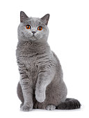 istock Sweet young adult solid blue British Shorthair cat kitten sitting up front view, looking at camera with orange eyes and one paw lifted, isolated on white background 1041100852